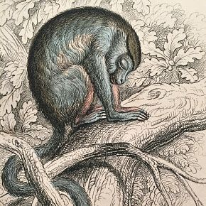 DOUROUCOULI Engraving Naturalist Library Jardine Antique Print