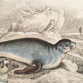 FUR SEAL COMMON Engraving Naturalist Library Jardine Antique Print