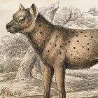HYAENA SPOTTED Engraving Naturalist Library Jardine Antique Print