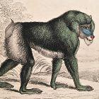 BABOON MANDRIL Engraving Naturalist Library Jardine Antique Print