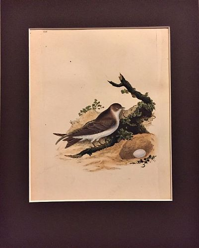 MARTIN SAND Engraving Natural History British Birds Edward Donovan