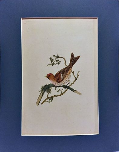 LINNET RED HEADED Engraving Natural History British Birds Donovan