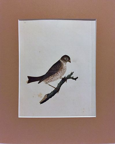 BUNTING COMMON Engraving Natural History British Birds Edward Donovan
