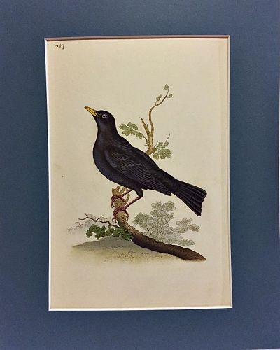 BLACKBIRD Engraving Natural History British Birds Edward Donovan