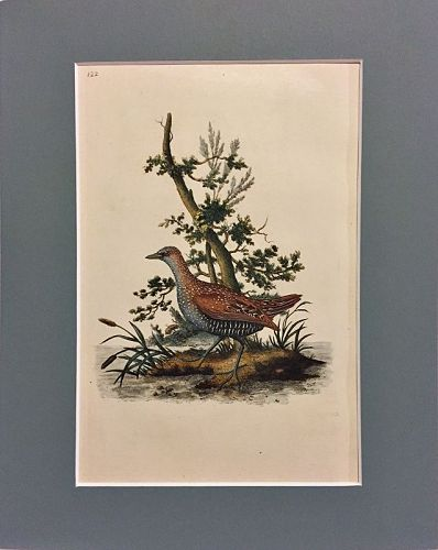 GALLINULE Engraving Natural History British Birds Edward Donovan