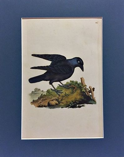 JACKDAW Engraving Natural History British Birds Edward Donovan Antique