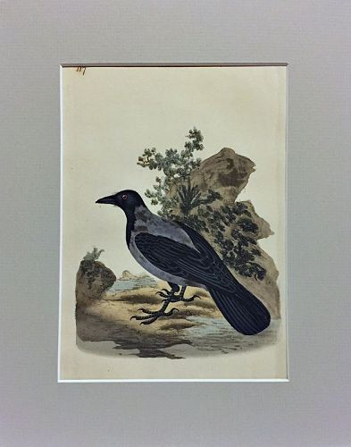 CROW HOODED Engraving Natural History British Birds Donovan Antique