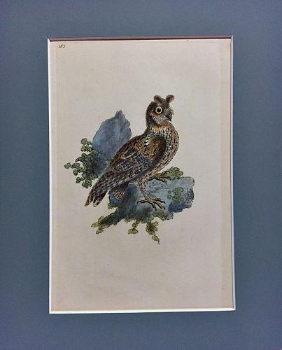 OWL SIBERIAN EARED Engraving Natural History British Birds Donovan