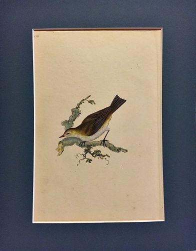PETTYCHOPS LESSER Engraving Natural History British Birds Donovan