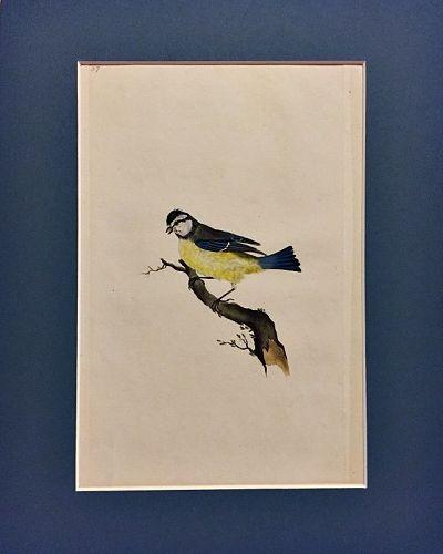 TITMOUSE BLUE Engraving Natural History British Birds Edward Donovan