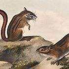 SQUIRREL TOWNSENDS GROUND Lithograph John Audubon Quadruped Octavo