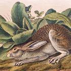 HARE BLACK TAILED Lithograph John Audubon Quadruped Royal Octavo
