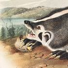 BADGER AMERICAN Lithograph John Audubon Quadruped Royal Octavo