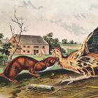 WEASEL TAWNY Lithograph John Audubon Quadruped Royal Octavo Antique