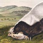 SKUNK TEXAN Lithograph John Audubon Quadruped Royal Octavo Antique