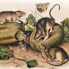 RAT BROWN NORWAY Lithograph John Audubon Quadruped Royal Octavo