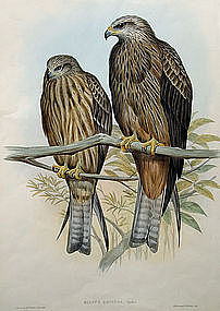 KITE GOVINDA John Gould Hart Richter Wolf Birds Asia Antique