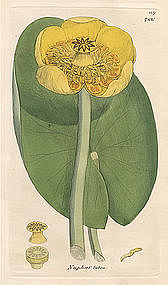 Sowerby English Botany, Yellow Water-lily