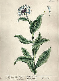 Blackwell Botanical Print 1737, The Great Blew-bottle