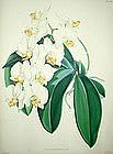 PHALAENOPSIS GRANDIFLORA AUREA Warner Select Orchid Antique London