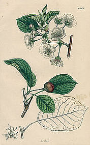 Sowerby English Botany, Morello Cherry-tree