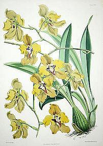 Warner Orchid, Oncidium Macranthum