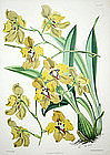 ONCIDIUM MACRANTHUM Robert Warner Select Orchid Plants Antique London