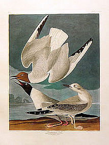 GULL BONAPARTIAN John Audubon Birds America Amsterdam 1972 New York