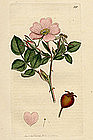 BRIAR SWEET James Sowerby English Botany 1802 Britain