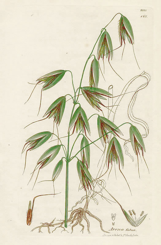 OAT WILD HAVER AVENA FATUA James Sowerby English Botany 1810 Britain