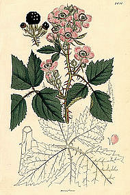Sowerby English Botany Long Clustered Bramble