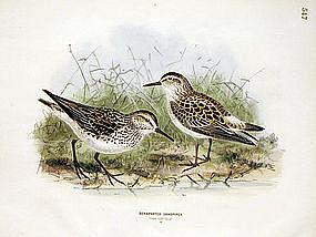 SANDPIPER BONAPARTE Henry Dresser Keulemans Birds Europe 1873 London