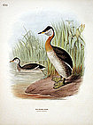 GREBE RED NECKED Henry Dresser Keulemans Birds Europe 1878 London