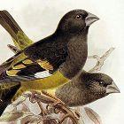 Dresser Birds of Europe Whitewinged Grosbeak Lithograph
