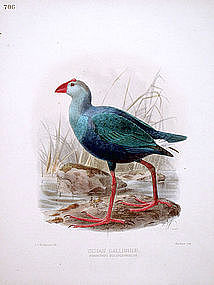 Dresser Birds of Europe Indian Gallinule Lithograph