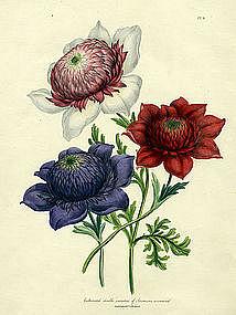 ANEMONE CORONARIA Jane Loudon Ladies Flower Garden 1843 1844 London