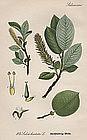 WILLOW SPEARHEAD LEAVED Thome Flora von Deutschland 1904 Germany