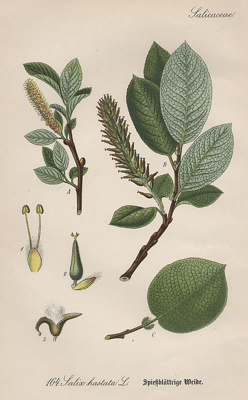 Thome Flora von Deutschland Spearhead Leaved Willow