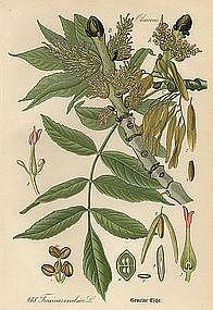 Thome Flora von Deutschland European Ash
