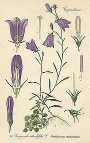 BLUEBELL HAREBELL Professor Thome Flora von Deutschland 1905 Germany