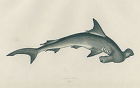 Hammerhead Shark Antique Print Wood Engraving