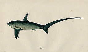 Thresher Shark Antique Print Wood Engraving