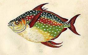 Opah Moonfish Kingfish  Antique Print Wood Engraving