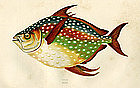 OPAH MOONFISH KINGFISH Jonathan Couch Fishes British Islands 1863