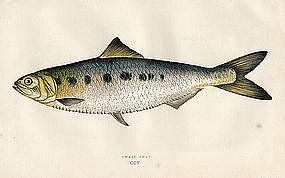 TWAIT SHAD Johathan Couch Fishes British Islands 1865 London