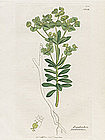SPURGE PORTLANDICA EUPHORBIA Sowerby English Botany 1798 Britain