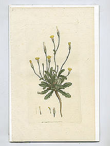 CATS EAR SMOOTH HYPOCHAERIS GLABRA Sowerby English Botany 1799 Britain