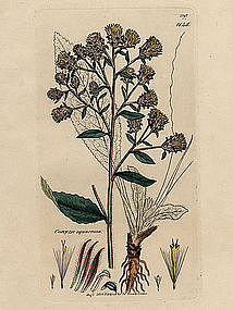 SPIKENARD PLOWMANS CONYZA James Sowerby English Botany 1803 Britain