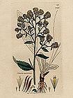 SPIKENARD PLOWMANS CONYZA James Sowerby English Botany 1803 Britain
