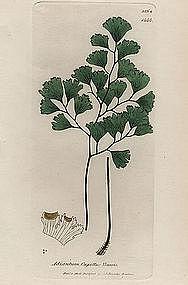 Sowerby English Botany, True Maidenhair